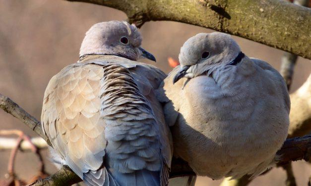 Amores de pino